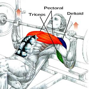 Мышцы в жиме лежа