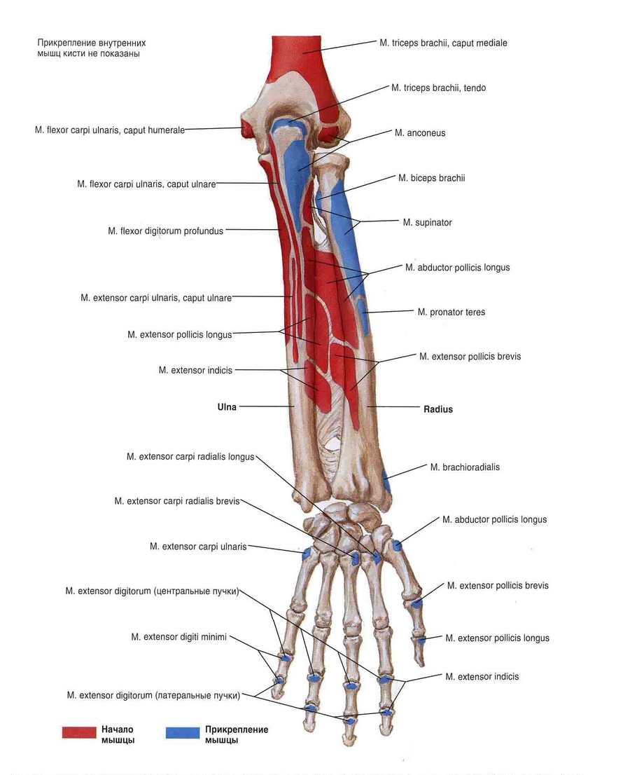 Крепление мышц предплечья