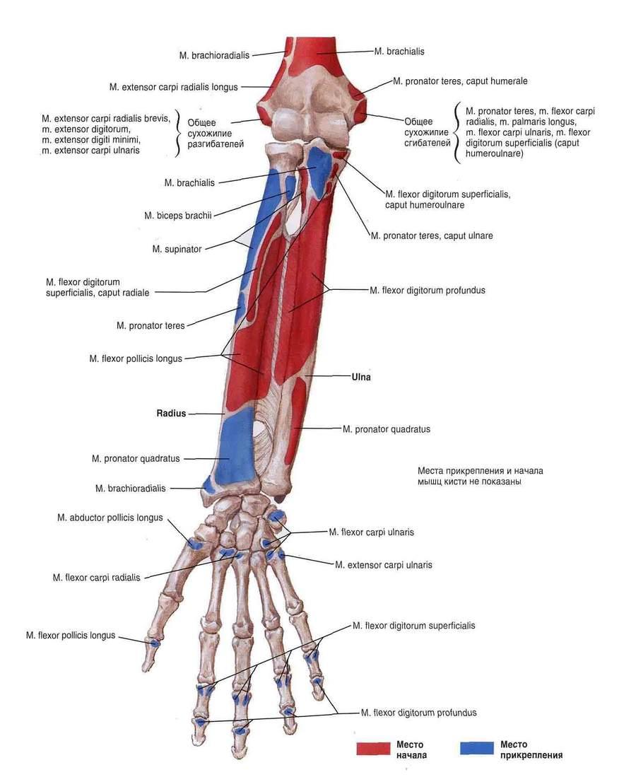Крепления мышц
