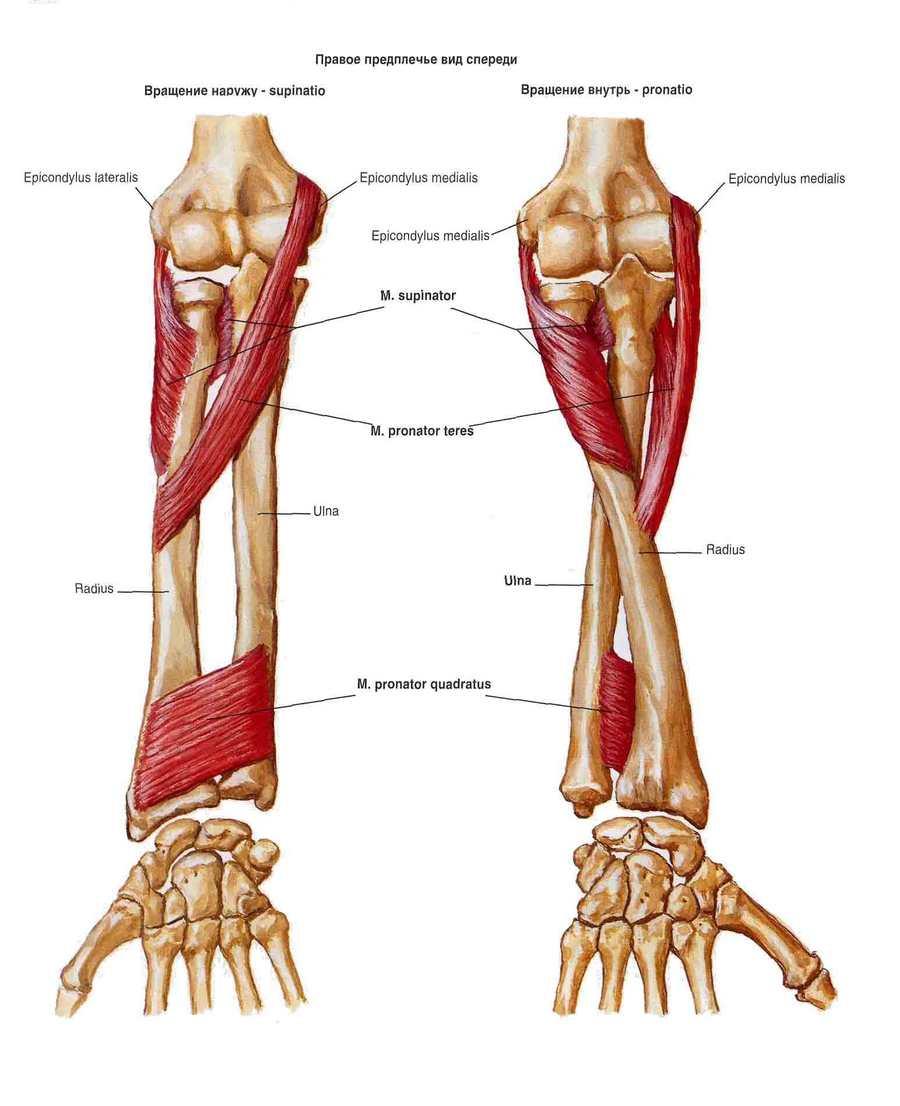 Вращатели лучевой кости