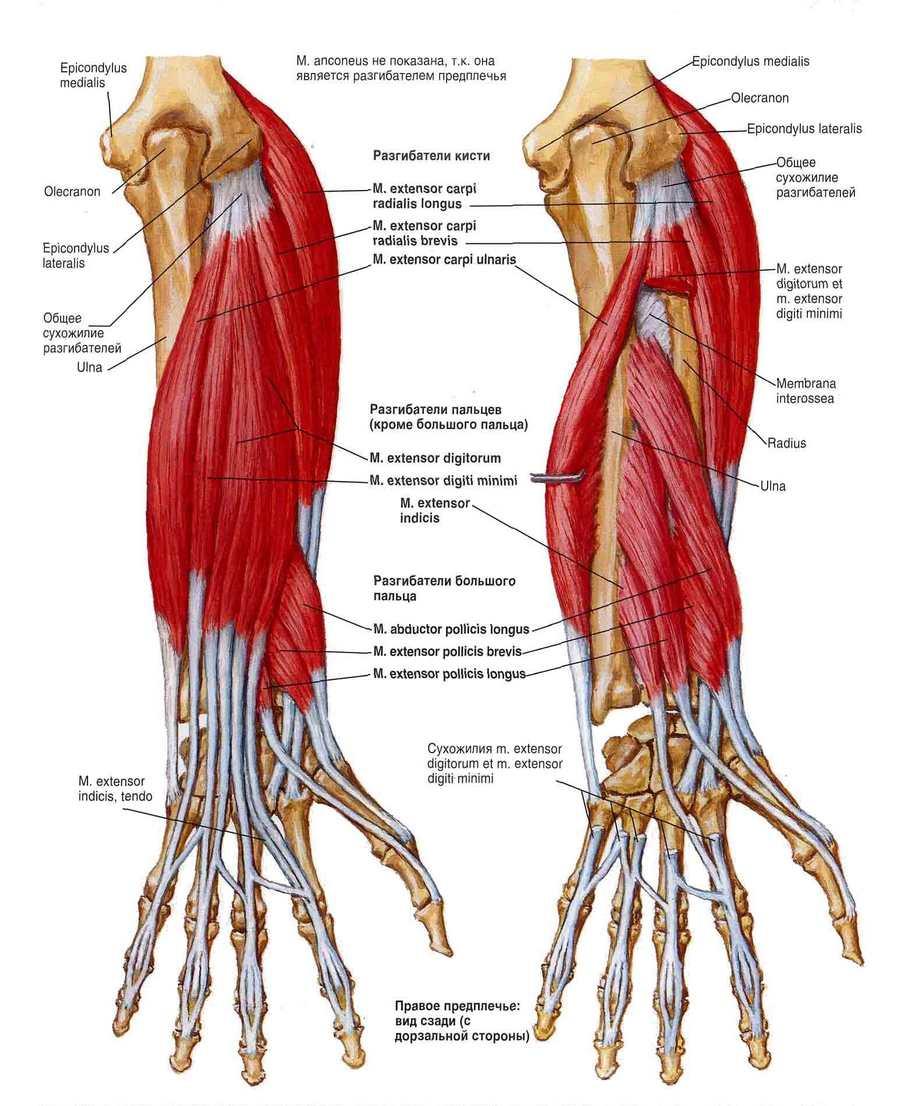 Мышцы разгибатели кисти и пальцев